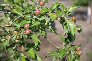community-garden-apple-trees