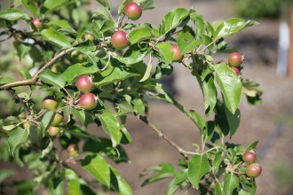 community-garden-apple-trees