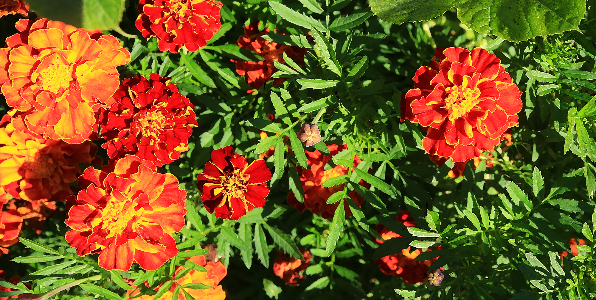 Inver Hills-Metro State Community Garden