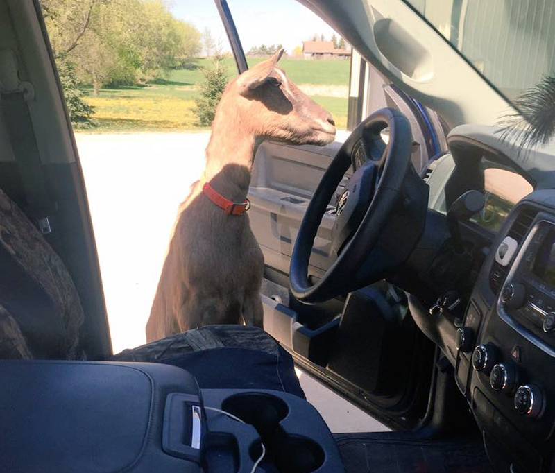 Bambi trying to steal her truck