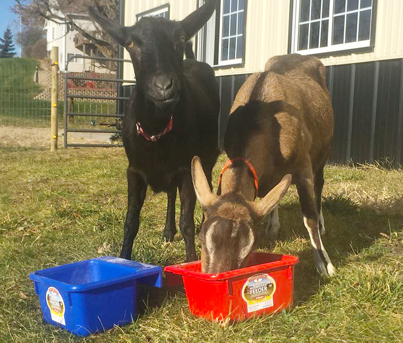 Betty and Bambi, her alpine dairy goats