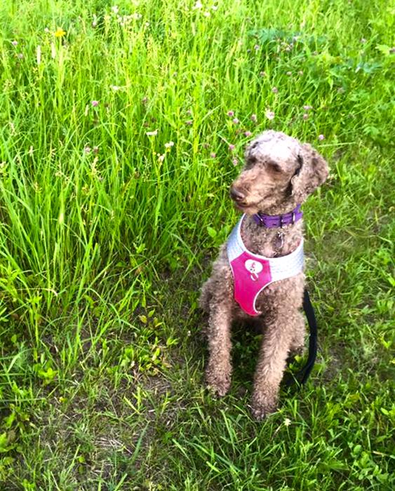 Izzy, her standard poodle