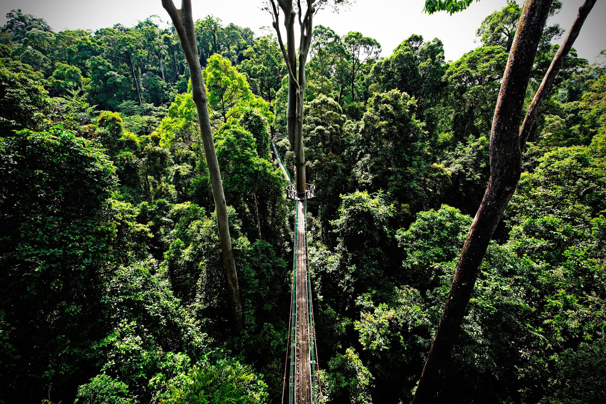 Sandakan rainforest