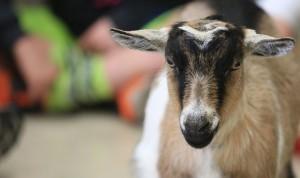 Inver goat