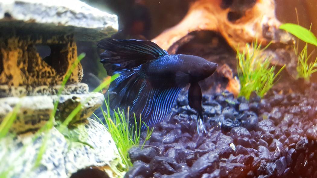 Finn, Jessica's betta fish