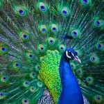 aaa_peacock