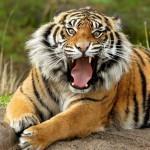 aaa_tiger