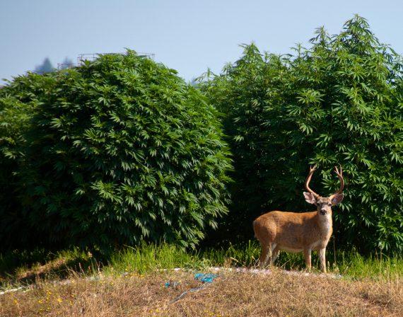 Marijuana Forum