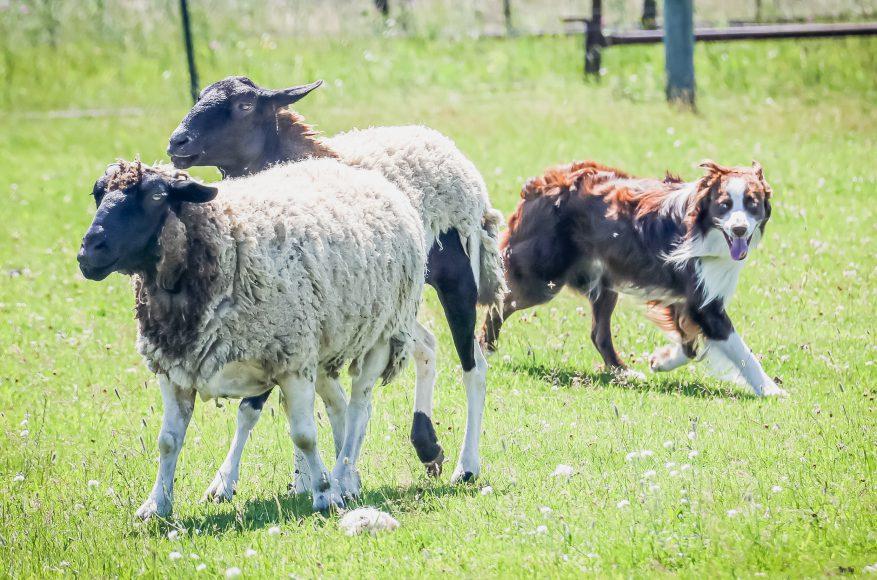Herding time